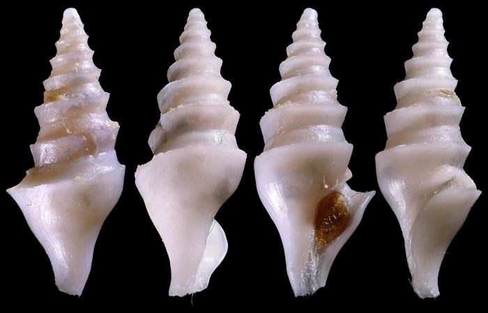 Spirotropis confusa (Seguenza, 1880)