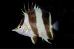 Prognathodes geminus