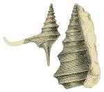 Alaria bispinosa var. elegans reproduced from Hudleston, 1884 pl. VI, fig. 8, 8a