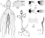 Lepidoctopus joaquini gen. et sp. nov.