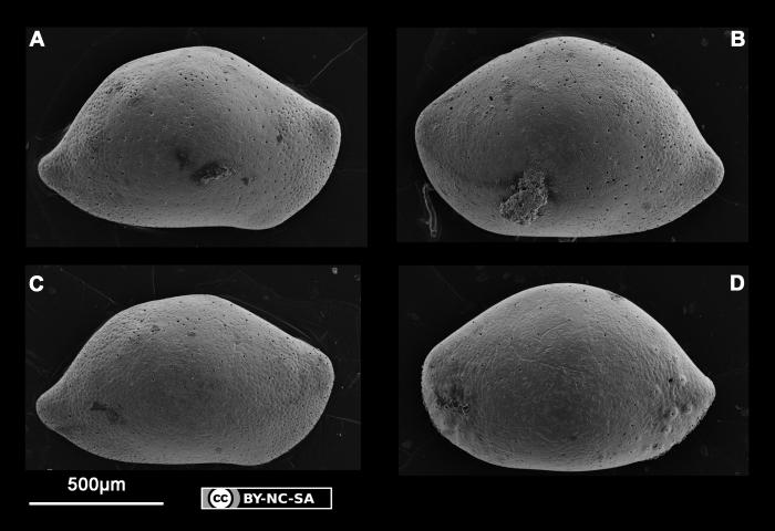 Neonesidea sp. 1