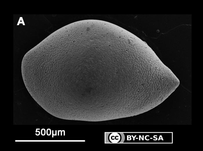 Neonesidea sp. 2