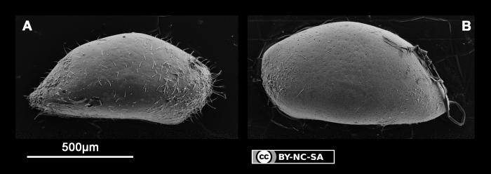 Neonesidea sp. 3 cf. N. equatorialis