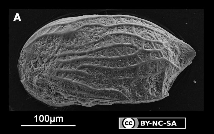 Semicytherura sp. 2