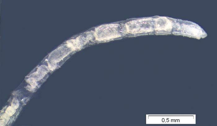 Aulodrilus pigueti (habitus)