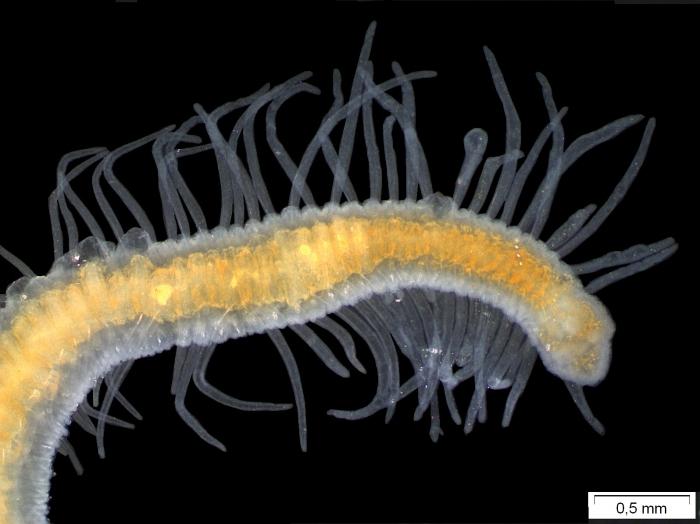 Branchiodrilus hortensis (habitus)