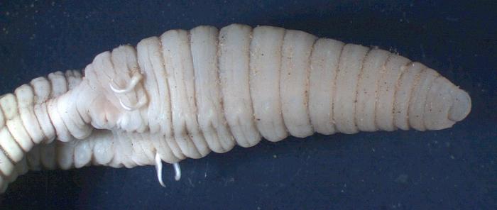 Criodrilus lacuum (genital area with spermatophores)