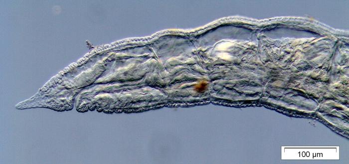 Propappus volki (anterior part)
