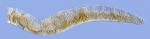 Tubifex blanchardi (anterior)