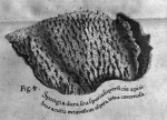 Hans Sloane's (1707) image of Spongia villosa Pallas, 1766