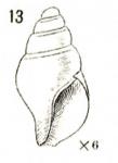 "Astyris pura Verrill, 1882 from S. of Martha's Vineyard, ""Blake"" sta. 894 (365 fathoms)"