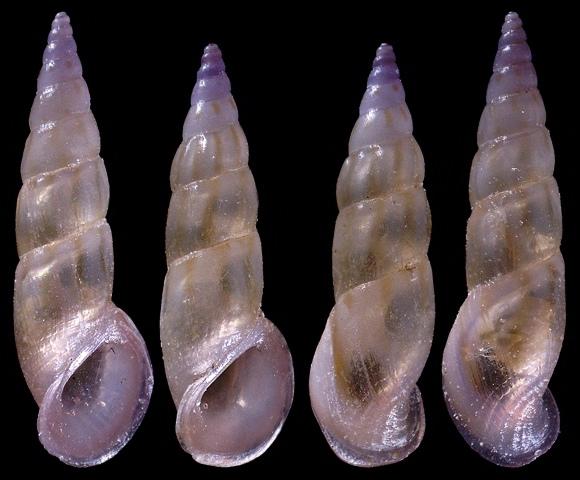 Rissoa auriscalpium (Linnaeus, 1758)