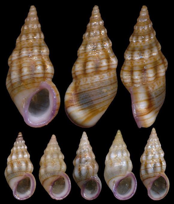 Rissoa variabilis