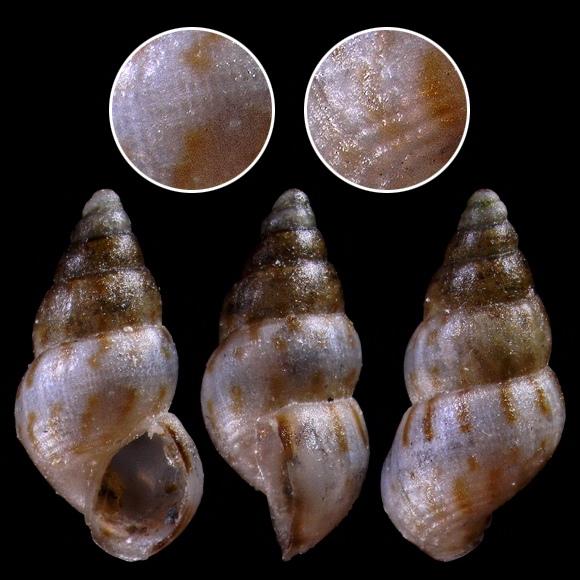 Rissoa similis