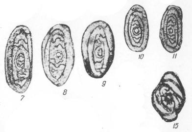 Eosigmoilina rugosa Brazhnikova, 1964