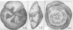 Pseudoeponides heterogeneus Shchedrina, 1984 Holotype
