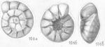 Ammonia crebera Shchedrina, 1984 Paratype