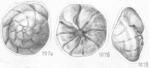 Ammonia dilucida Shchedrina 1984 Holotype