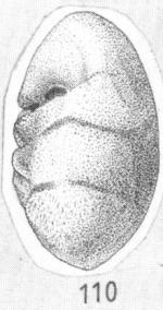 Ammonia glans Shchedrina, 1984 Paratype
