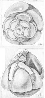 Asterorotalia rolshauseni conica Shchedrina, 1984 Holotype