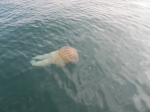 Swimming specimen