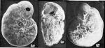 Ammonia agoiensis Yanko, 1990 Holotype