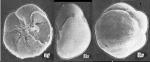 Ammonia caucasica Yanko 1990 Holotype