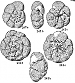 Streblus compactus Hofker, 1964 type figures
