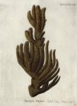 Spongia stuposa Esper, 1794