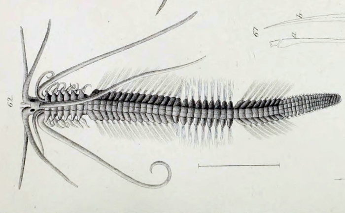 Polybostrichus longosetosus original plate in Örsted, 1843