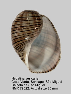 Hydatina vesicaria