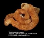 Thylacodes decussatus