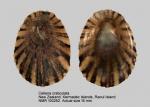 Cellana craticulata