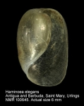 Haminoea elegans
