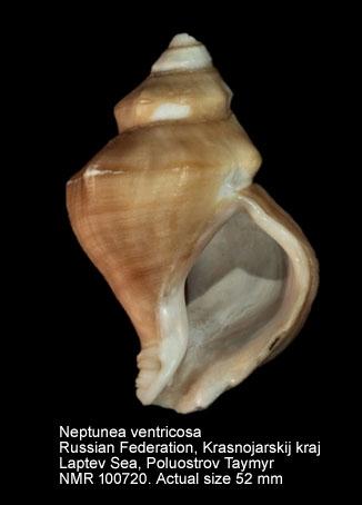 Neptunea ventricosa