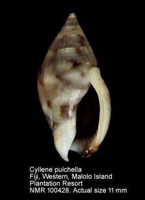 Cyllene pulchella
