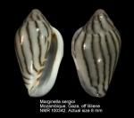 Marginella sergioi