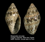 Marginella simulata