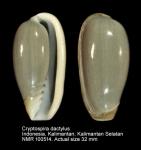 Cryptospira dactylus