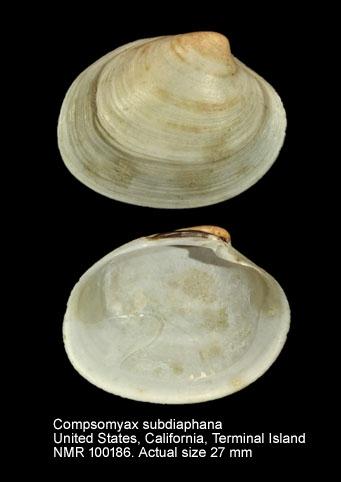 Compsomyax subdiaphana