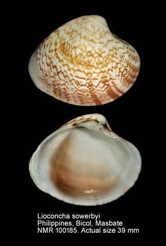 Lioconcha sowerbyi