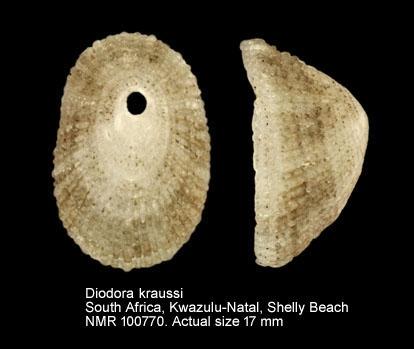 Diodora australis