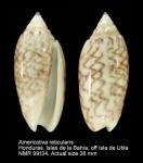 Americoliva reticularis