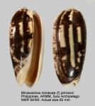 Miniaceoliva miniacea