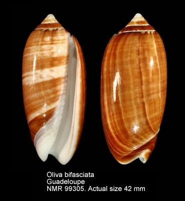 Oliva bifasciata