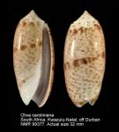 Oliva caroliniana