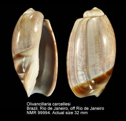 Olivancillaria carcellesi
