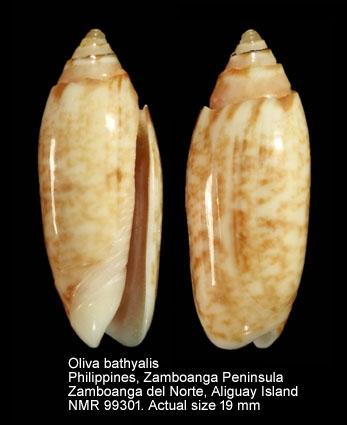 Oliva bathyalis
