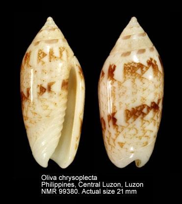 Oliva chrysoplecta