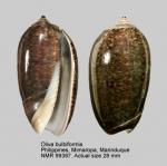 Oliva bulbiformis